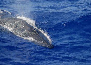 Paus Bryde. FOTO: NOAA FISHERIES