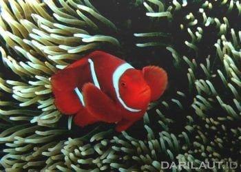Ilustrasi ikan nemo atau Clownfish (ikan badut). FOTO: DARILAUT.ID
