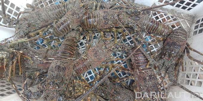 Tangkapan lobster di Cilacap. FOTO: DARILAUT.ID