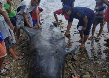 Paus pilot yang terdampar di pantai Bone Bolango, Gorontalo, Sabtu (4/1). FOTO: DOK. SATWAS PSDKP GORONTALO