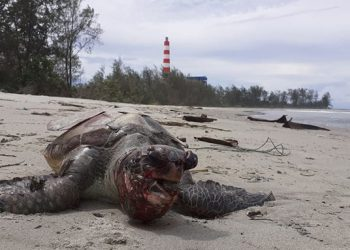 Penyu ke 27 yang ditemukan mati di pantai Teluk Sepang, Bengkulu. FOTO: TWITTER/@kanopimedia