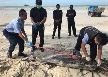 Pesut (Orcaella brevirostris) jenis kelamin betina ditemukan mati terdampar di Pantai Sanchaya Resort, Lagoi, Kabupaten Bintan, Provinsi Kepulauan Riau, Senin (30/12). FOTO: DOK. BPSPL PADANG