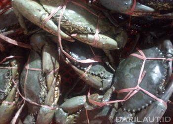 ILustrasi kepiting ekspor. FOTO: DARILAUT.ID