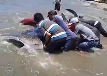 Sejumlah nelayan  dan berbagai pihak di Aceh Selatan menyelamatkan hiu paus. TWITTER/DANURFAN LEUSER INDONESIA