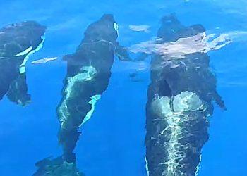 Paus pembunuh (Orcinus orca) yang muncul di perairan Anambas, Kepulauan Riau 30 Maret 2020, berjumlah 7 ekor. POTONGAN VIDEO ALDI PRATAMA