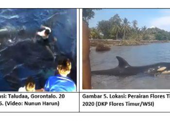 Paus pembunuh di perairan Gorontalo dan Flores Timur, NTT.