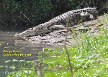 Buaya muara, Crocodylus porosus. FOTO: AGUS HONG/KLHK