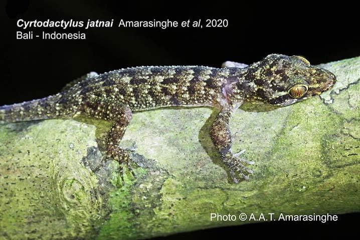 Spesies reptil endemik baru, Cyrtodactylus jatnai, yang ditemukan di Taman Nasional Bali Barat. FOTO: A A Thasun Amarasinghe Via KLHK