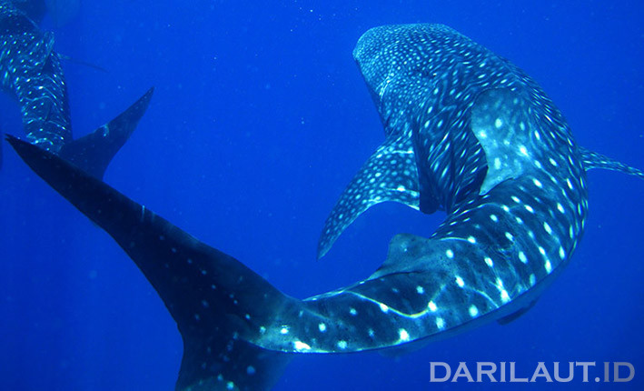 Hiu paus di perairan Botubarani, Bone Bolango, Gorontalo. FOTO: DARILAUT.ID