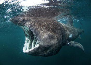 Hiu Berjemur, Cetorhinus maximus. FOTO: OCEANA.ORG
