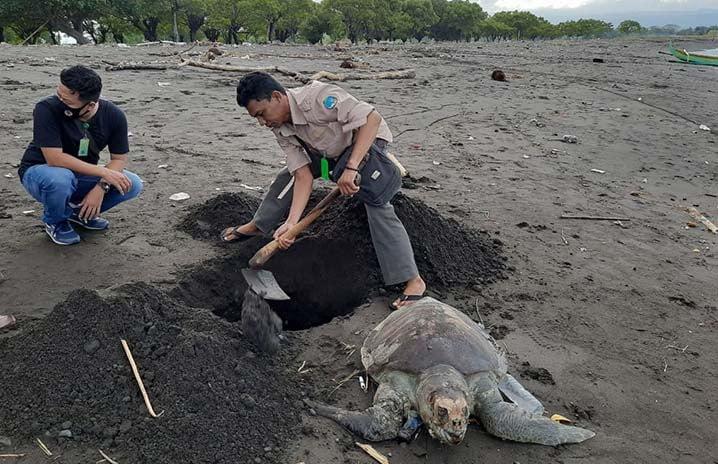 Seekor penyu lekang ditemukan mati terdampat di Pulau Santen, Banyuwangi. FOTO: BPSPL DENPASAR/KKP