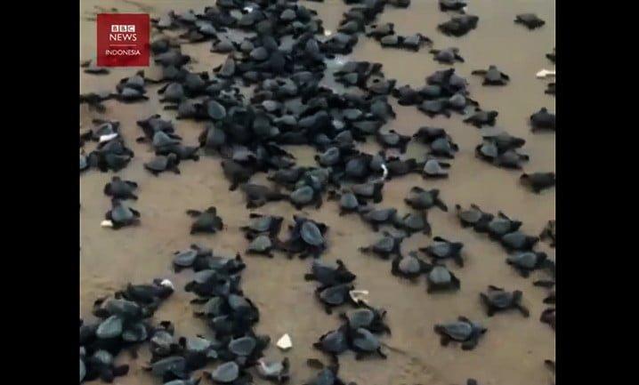Jutaan telur penyu lekang menetas menjadi tukik, di pantai Rushikulya, negara bagian Odisha, India. Potongan video BBC News Indonesia