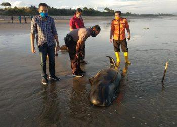 Seekor paus pilot ditemukan mati terdampar kode 3 di Kabupaten Lebak, Banten, Senin (11/5). FOTO: DKP BANTEN/Facebook Whale Stranding Indonesia