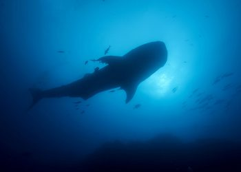Hiu paus di Kepulauan Galapagos. FOTO: KIP EVANS/MISSION BLUE