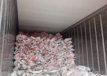 Ikan kakap merah dalam kontainer. FOTO: DARILAUT.ID