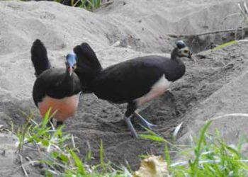 Burung maleo (Macrocephalon maleo). FOTO: HANOM BASHARI/EPASS