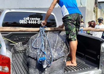 Seekor penyu belimbing (Dermochelys coriacea) ditemukan mati terdampar di pantai Desa Asilulu, Kecamatan Leihitu Kabupaten Maluku Tengah, Provinsi Maluku, Jumat (22/5). FOTO: KSDAE/LHK