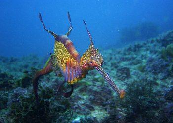 Naga Laut atau Weedy Seadragon, Phyllopteryx taeniolatus. FOTO: ROB THYER/Museum Australia