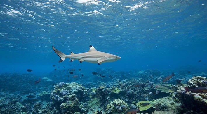 Blacktip reef sharks atau hiu sirip hitam. FOTO: TNC/NATURE.ORG
