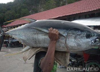 Tuna sirip kuning atau Yellowfin dengan nama ilmiah Thunnus albacares. FOTO: DARILAUT.ID