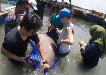 Penanganan Dugong (Dugong dugon) yang ditemukan dalam kondisi hidup di Pulau Cempedak, Kecamatan Kendawangan, Kabupaten Ketapang, Provinsi Kalimantan Barat, untuk dilepas kembali ke alam liar, Senin (25/5). FOTO: KSDAE/LHK