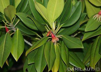 Daun mangrove. FOTO: DARILAUT.ID