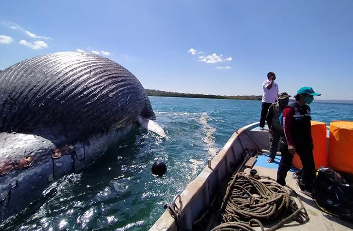 Paus biru (Balaenoptera musculus) ditemukan terdampar di pantai Nun Hila, kawasan Taman Wisata Alam Laut Teluk Kupang, Kota Kupang, Selasa (21/7) sore. FOTO: KLHK
