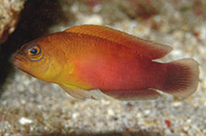 Ikan matahari, Pseudochromis matahari, salah satu spesies endemik di Halmahera. FOTO: GR ALLEN