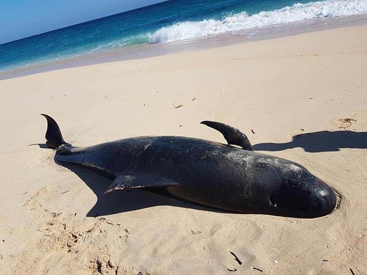Paus pilot atau paus pemandu sirip pendek ditemukan terdampar di Pantai Lie Jaka, Kelurahan Ledeunu, Kecamatan Raijua, Kabupaten Sabu Raijua, Nusa Tenggara Timur, Kamis (30/7). FOTO: PPID-KLHK