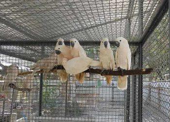 Sebanyak 14 ekor burung asli Maluku diterbangkan dari Medan transit Jakarta ke Ambon, Selasa (11/8). Pemulangan satwa hasil sitaan Balai Besar KSDA Sumatera Utara tersebut telah memenuhi protokol kesehatan. FOTO: KLHK