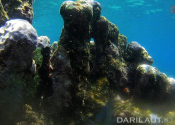 Data iklim masa lampau terekam dalam kombinasi karang hidup dan mati. FOTO: DARILAUT.ID