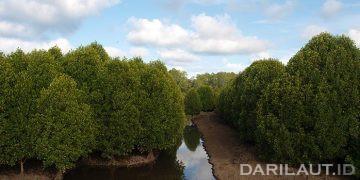 Hutan Mangrove. FOTO: DARILAUT.ID