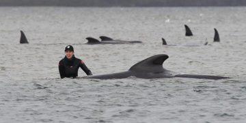 Upaya penyelamatan paus pilot yang terdampar di pantai barat Tasmania, Selasa 22 September 2020. FOTO: BRODIE WEEDING/The Advocate