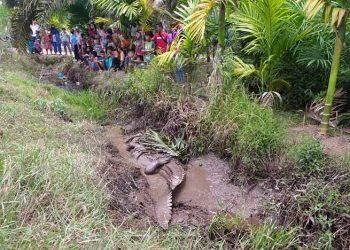 Kondisi Buaya muara (Crocodylus porosus) yang terjebak di pinggir parit sebelum dievakuasi. FOTO: KSDAE/KLHK