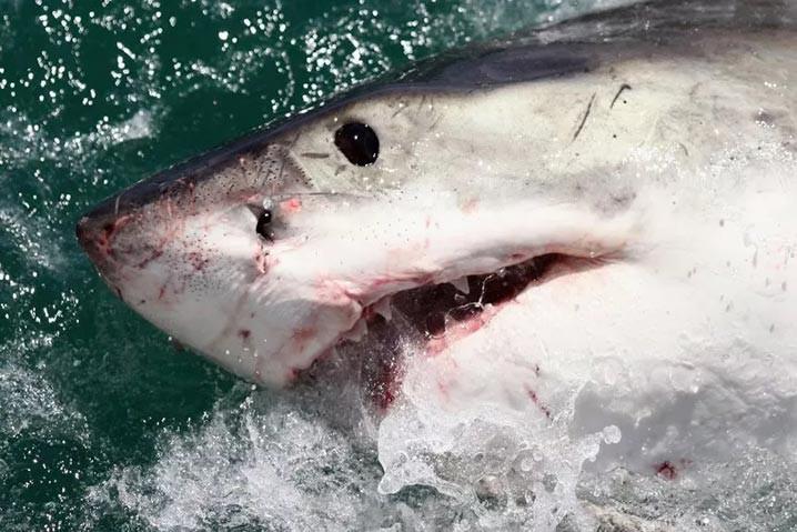 Seekor hiu putih besar di lepas pantai di Gansbaai, Afrika Selatan, pada 2009. Seorang ilmuwan yang melakukan autopsi pada hiu putih yang dimangsa paus pembunuh telah menjelaskan hasil temuan mereka. FOTO: DAN KITWOOD/GETTY IMAGES VIA NEWSWEEK.COM