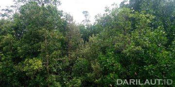 Pohon mangrove. FOTO: DARILAUT.ID