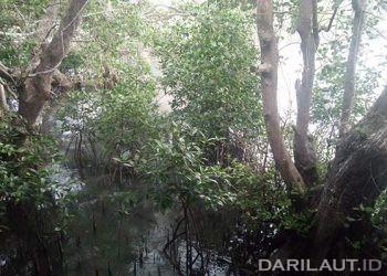 Pohon mangrove di Pulau Ambon. FOTO: DARILAUT.ID