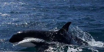 Paus pembunuh (orca). FOTO: SPANISH NAVY VIA MARINECONNECTION.ORG