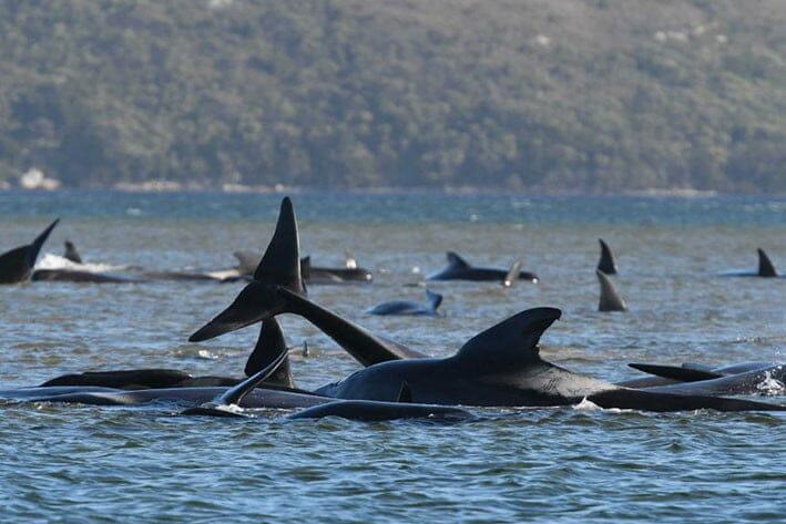 Paus pilot sirip panjang (Long-finned pilot whales) salah satu spesies yang sering terdampar dalam jumlah banyak di Tasmania. FOTO: ABC.NET.AU