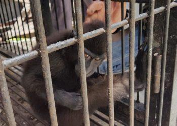 Monyet yaki atau Macaca nigra. FOTO: KLHK