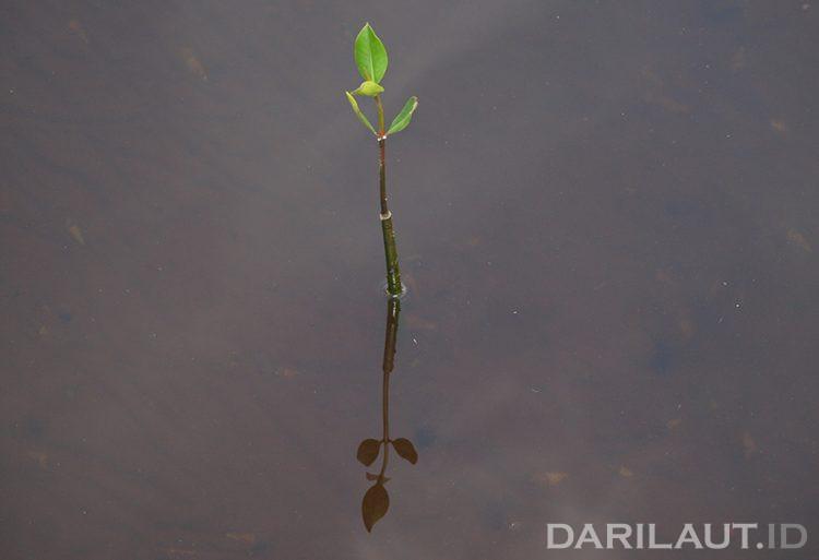 Ilustrasi tumbuhan mangrove. FOTO: DARILAUT.ID