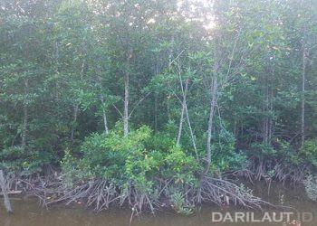 Sebanyak 21 spesies baru telah ditemukan di kawasan hutan mangrove  Timika, Kabupaten Mimika, Provinsi Papua. FOTO: DARILAUT.ID