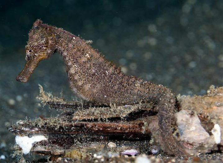 SpeciesHippocampus kuda di perairan Sulawesi Utara. FOTO: JIM GREENFIELD/FISHBASE.SE