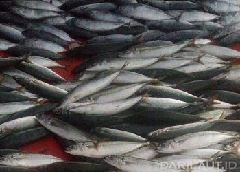 Ikan mengandung protein. FOTO: DARILAUT.ID