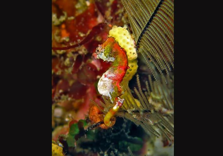 Hippocampus pontohi. FOTO: HENKE M/FISHBASE.SE