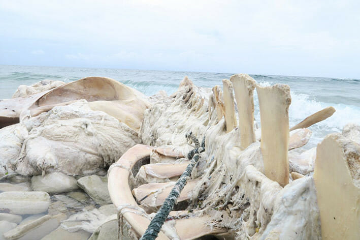 Seekor paus dengan panjang 12,75 meter ditemukan terdampar dalam kondisi kode 5 di Ohoi Yamtinur, Kabupaten Maluku Tenggara. FOTO: KSDAE/KLHK