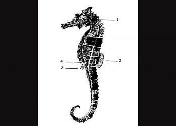 Morfologi kuda laut. 1) Sirip dada, 2) Sirip punggung, 3) Sirip anal, 4) Kantong pengeraman (brood pouch). GAMBAR: Asmanelli dan Andreas (1993)/SCHULTZ (1948)