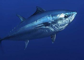 Ikan tuna sirip biru Atlantik, mengalami kelangkaan karena penangkapan yang tidak berkelanjutan. FOTO: Solvin Zankl/Wild Wonders of Europe VIA PEW