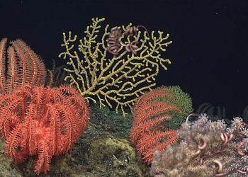 Bintang laut brisingida. FOTO: NOAA/Oceanexplorer.noaa.gov