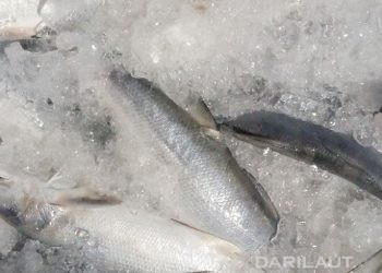 Ilustrasi ikan. FOTO: DARILAUT.ID